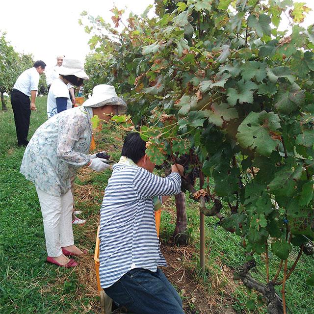 ワイン用ぶどうの収穫